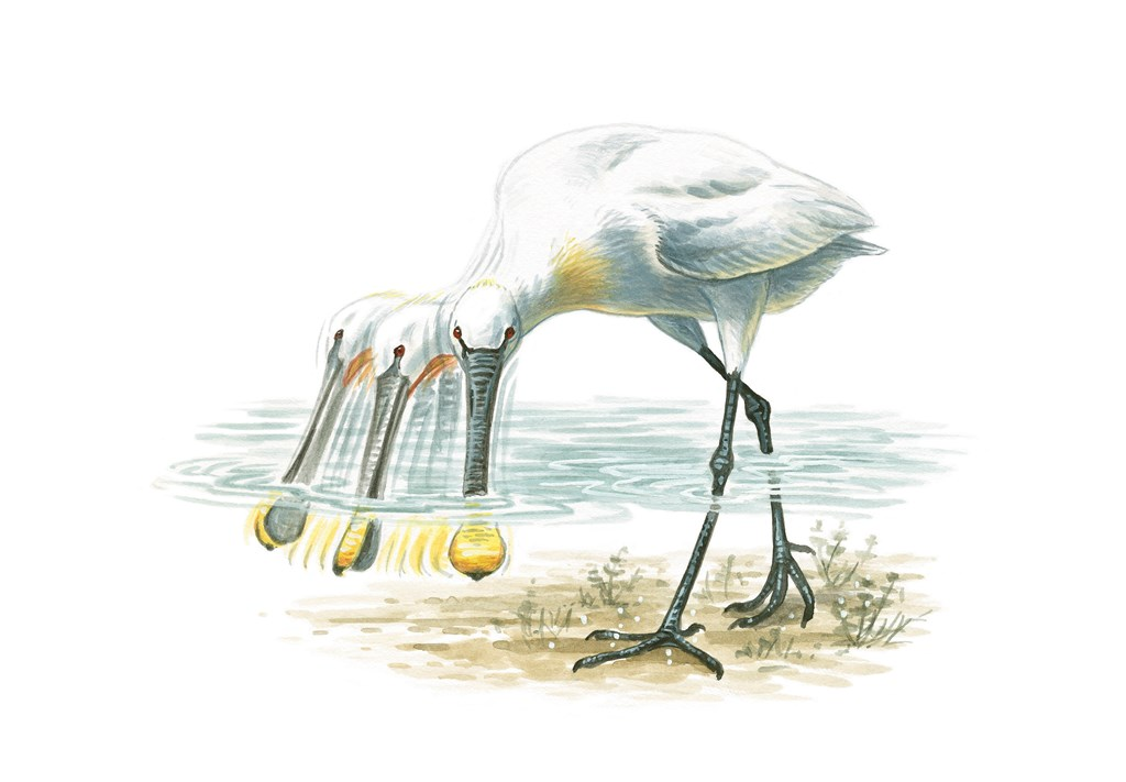 A painting of a spoonbill in the water, pointing it's spoon shaped bill under the water and moving it's beak