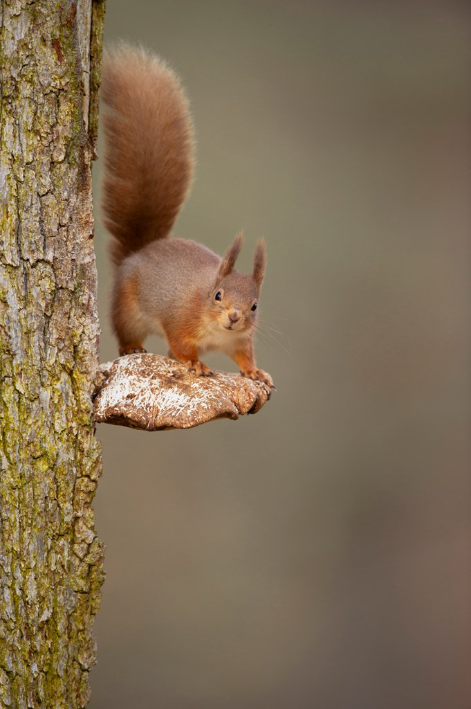 Red squirrel on bracket fungus by Andrew Parkinson