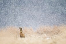 Brown hare Lepus europaeu...