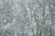 Birch trees in snow storm...