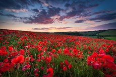 Poppy Field at sunset, Pe...