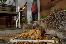 Hedgehog Erinaceus europaeus, three feeding on mealworms and oatmeal left out for them on a patio, watched by home owner, Chippenham, Wiltshire, UK, August Taken with a remote camera...
