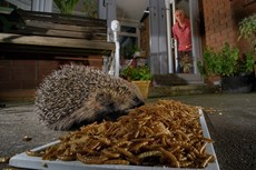 Hedgehog Erinaceus europaeus, two feeding on mealworms left out for them on a patio, watched by home owner, Chippenham, Wiltshire, UK, August Taken with a remote camera...