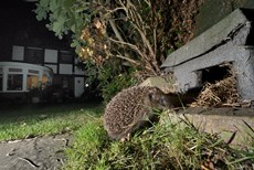 Hedgehog Erinaceus europaeus, heading for a hedgehog house at night in a suburban garden, Chippenham, Wiltshire, UK, August  Taken with a remote camera trap...