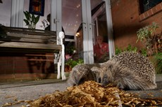 Hedgehog Erinaceus europaeus, three feeding on mealworms left out for them on a patio, watched by home owners, Chippenham, Wiltshire, UK, August Taken with a remote camera...