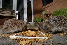 Hedgehog Erinaceus europaeus, feeding on mealworms and oatmeal left out for them on a patio, Chippenham, Wiltshire, UK, August Taken with a remote camera...