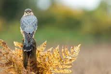 Merlin Falco columbarius, adult male perched on wooden post, captive individual, Hawk Conservancy Trust, Hampshire, November