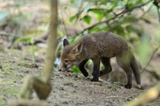Red fox Vulpes vulpes, cub exploring woodland near the entrance to its earth, Somerset, May
