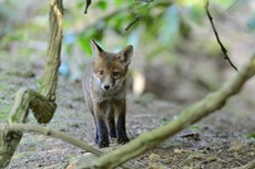 Red fox Vulpes vulpes, cub peering from the entrance to its earth, Somerset, May