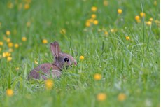 European rabbit Oryctolagus cuniculus, juvenile resting on a garden lawn among Meadow buttercups Ranunculus acris, Somerset, May