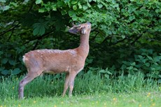 Roe deer Capreolus capreolus, buck grazing leaves from a Lime tree Tilia sp., Somerset, May