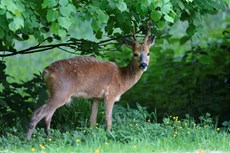 Roe deer Capreolus capreolus, buck in a grassy woodland clearing, Somerset, May