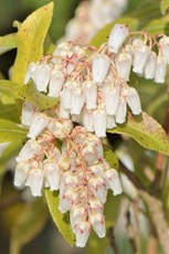Japanese pieris Pieris japonica, cultivated ornamental flowers in a garden, Wiltshire,  April