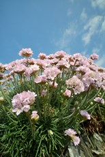 Thrift seapink Armeria maritima, clump flowering on an old wall, Cornwall, May
