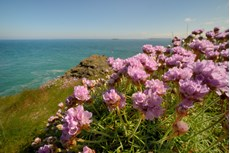 Thrift seapink Armeria maritima, plants flowering on clifftop, Trevose Head, Cornwall, May