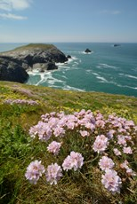 Sea thrift Armeria maritima, plants flowering on clifftop, Trevose Head, Cornwall, May