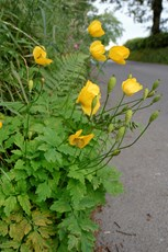 Welsh poppy Meconopsis cambrica, plant flowering on a roadside verge, Ceredigon, June