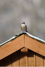 Grey jay Perisoreus canadensis, adult, perched on roof of rest stop, Dalton Highway, Alaska, October