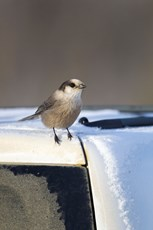 Grey jay Perisoreus canadensis, adult, perched on roof of vehicle at rest stop, Dalton Highway, Alaska, October
