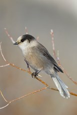 Grey jay Perisoreus canadensis, adult, perched in bushes at rest stop, Dalton Highway, Alaska, October