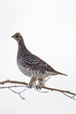 Sharp-tailed grouse Tympanuchus phasianellus, adult, perched in treetop, Dalton Highway, Alaska, October