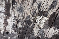 Black arches Lymantria monacha, adult resting on textured wood, Middle Winterslow, Wiltshire, July