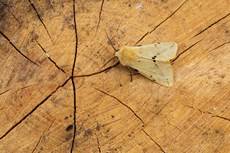 Buff ermine Spilarctia luteum, adult resting on cut tree trunk, Middle Winterslow, Wiltshire, July