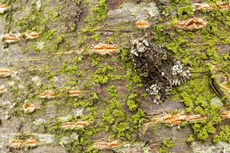 Coronet Craniophora ligustri, adult resting on tree trunk, Middle Winterslow, July