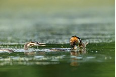 Great crested grebe Podiceps cristatus, adult and chick with caught Tench Tinca tinca, Langford Lakes, Wiltshire Wildlife Trust Reserve, Wiltshire, July