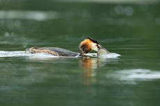Great crested grebe Podiceps cristatus, adult with caught Tench Tinca tinca, Langford Lakes, Wiltshire Wildlife Trust Reserve, Wiltshire, July