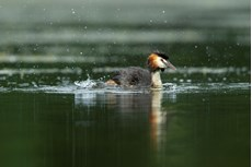 Great crested grebe Podiceps cristatus, adult bathing on freshwater lake, Langford Lakes, Wiltshire Wildlife Trust Reserve, Wiltshire, July