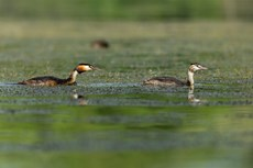 Great crested grebe Podiceps cristatus, adult following chick, Langford Lakes, Wiltshire Wildlife Trust Reserve, Wiltshire, July