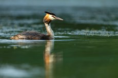 Great crested grebe Podiceps cristatus, adult swimming on freshwater lake, Langford Lakes, Wiltshire Wildlife Trust Reserve, Wiltshire, July