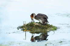 Great crested grebe Podiceps cristatus, adult incubating eggs on floating nest, Langford Lakes, Wiltshire Wildlife Trust Reserve, Wiltshire, July