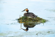 Great crested grebe Podiceps cristatus, adult sitting on floating nest, Langford Lakes, Wiltshire Wildlife Trust Reserve, Wiltshire, July