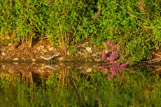 Green sandpiper Tringa ochropus, adult foraging along shoreline with flowering Purple loosestrife Lythrum salicaria, Langford Lakes, Langford Lakes, Wiltshire Wildlife Trust Reserve, Wiltshire, July