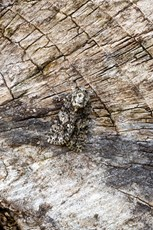 Knot grass Acronicta rumicis, adult resting on textured wood, Middle Winterslow, Wiltshire, July