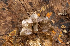 Poplar hawkmoth Laothoe populi, adult  resting on textured wood, Middle Winterslow, Wiltshire, July