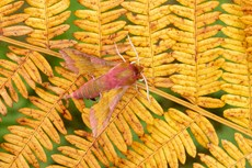 Small elephant hawkmoth Deilephila porcellus, adult resting on bracken frond, Middle Winterslow, Wiltshire, July