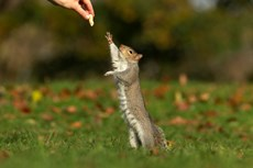 Grey squirrel Sciurus vulgaris, adult stretching to take a nut, Hyde Park, London, November