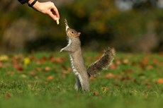 Grey squirrel Sciurus vulgaris, adult stretching to take a nut, Hyde Park, London, Novemberr