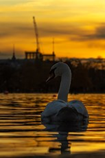 Mute swan Cygnus olor, adult  swimming on water at sunset, Round Pond, Kensington Gardens, London, November