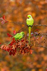 Rose-ringed parakeet Psittacula krameri, adult male and female  perched in tree, Kensington Gardens, London, November