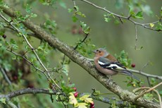 Common chaffinch Fringilla coelebs, adult male perched in Common hawthorn Crataegus monogyna, Langford Lakes, Wiltshire, UK, November