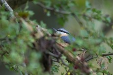 Eurasian nuthatch Sitta europaea, adult perched in Common hawthorn Crataegus monogyna, Langford Lakes, Wiltshire, UK, November