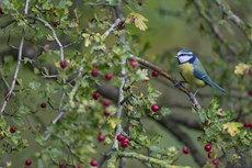 European blue tit Cyanistes caeruleus, adult perched in Common hawthorn Crataegus monogyna, Langford Lakes, Wiltshire, UK, November
