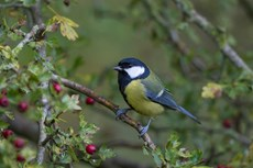 Great tit Parus major, adult perched in Common hawthorn Crataegus monogyna, Langford Lakes, Wiltshire, UK, November