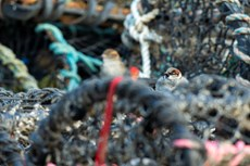 House sparrow Passer domesticus, adult pair perched on lobster pots, Aberystwyth Harbour, Dyfed, Wales, UK, December