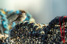 House sparrow Passer domesticus, adult male perched on lobster pots, Aberystwyth Harbour, Dyfed, Wales, UK, December