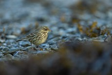 Eurasian rock pipit Anthus petrosus, adult foraging in harbour, Aberystwyth, Dyfed, Wales, UK, December